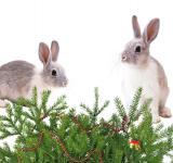 Free Photo - Christmas Bunnies
