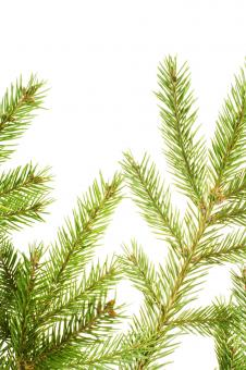 Pine branches - Free Stock Photo