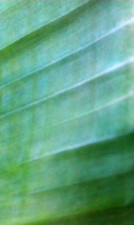 Free stock image of Banana leave created by zimy