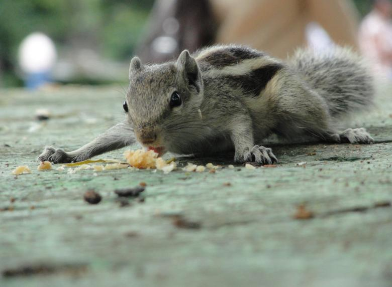 Free Stock Photo of A Squirrel Eating Created by Tona sam