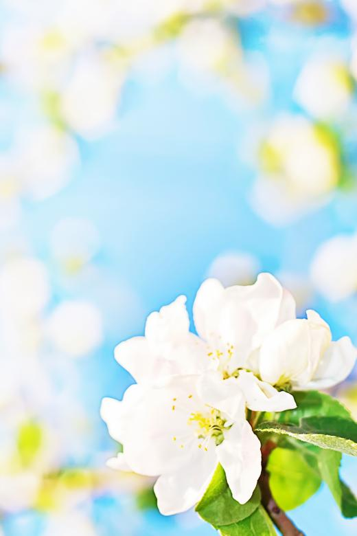 Free Stock Photo of White flowers background Created by 2happy