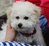 Free Photo - Bichon Frise