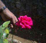 Free Photo - A Rose flower