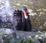 Free Photo - Black Swan in Park, Madrid, Spain