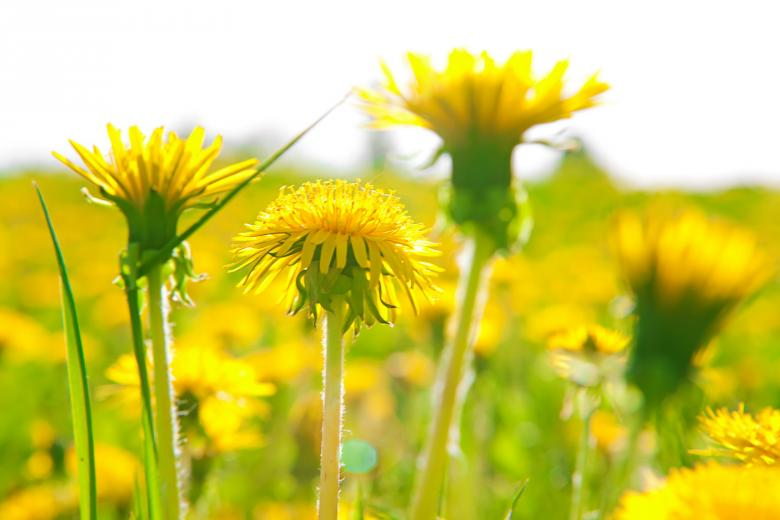 Dandelions - Free Summer Stock Photos