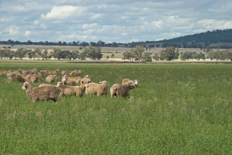 Free Stock Photo of Sheep grazing Created by Darryl J Smith