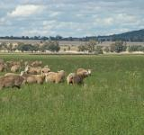 Free Photo - Sheep grazing