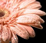 Free Photo - Water drops on daisy