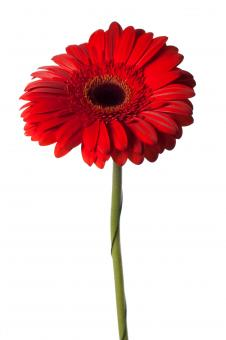 Red flower - Free Stock Photo