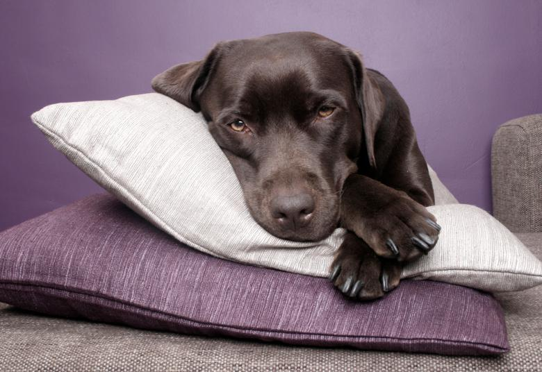 Labrador dog lying on pillows Free Photo