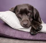 Free Photo - Labrador dog lying on pillows