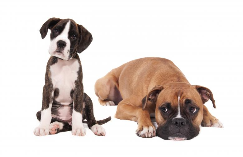 Boxer dogs - Free Dog Stock Photos