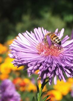 Bee on purple flower - Free Stock Photo