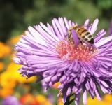 Free Photo - Bee on purple flower