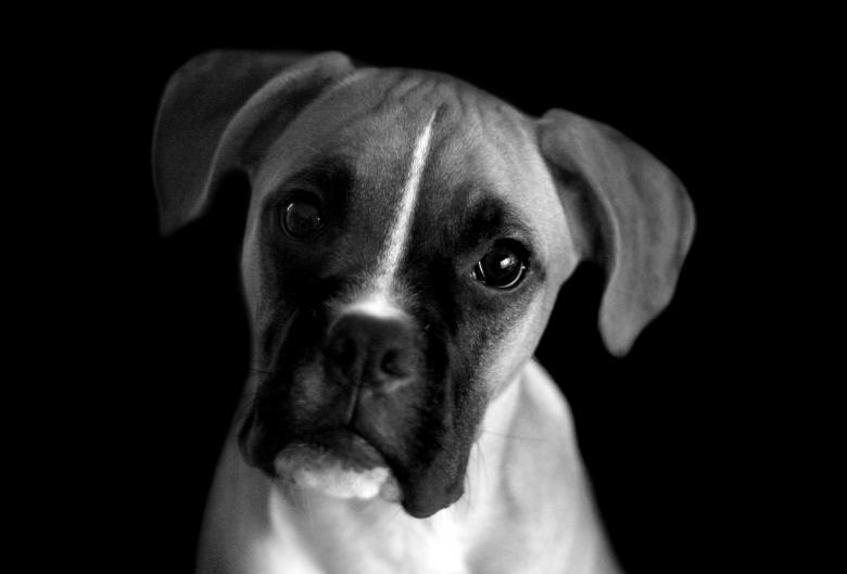 Black and white portrait of a boxer puppy