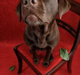Free Photo - Labrador dog on chair