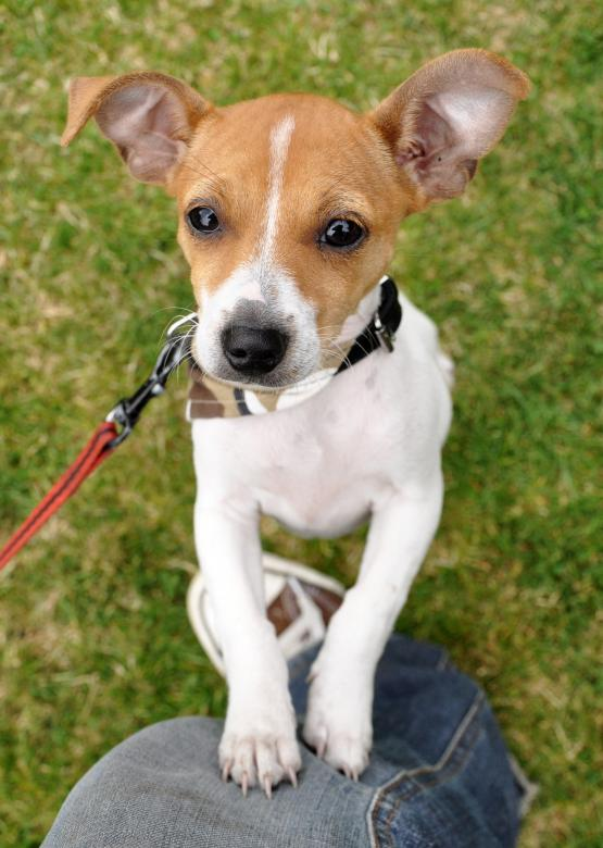 Jack russel puppy jumping - Free Dog Stock Photos