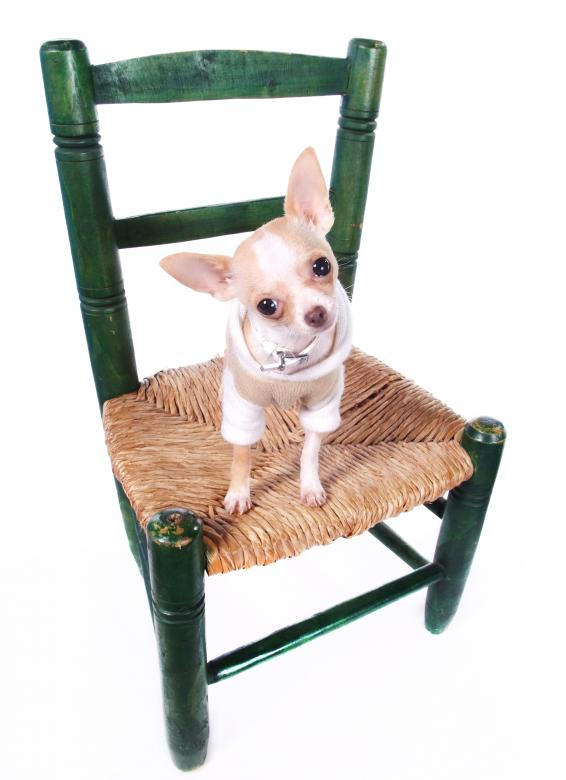 Free Stock Photo of Chihuahua dog sitting on chair  Created by Merelize