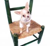 Free Photo - Chihuahua dog sitting on chair