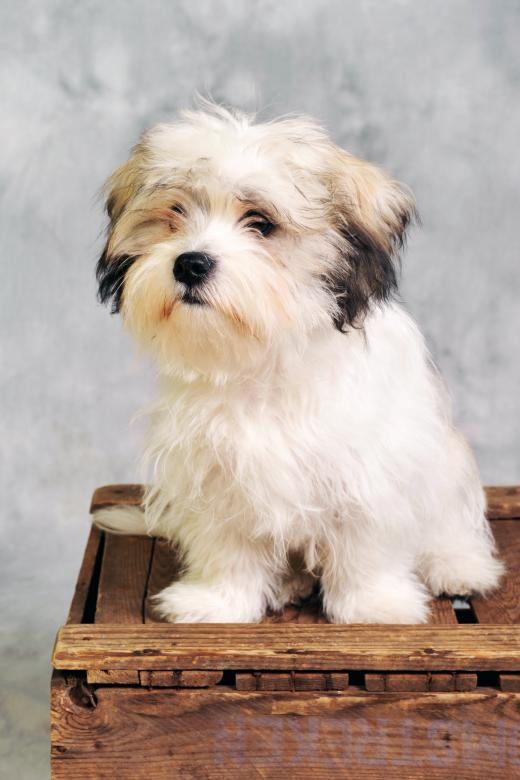 Maltese dog sitting on wooden box - Free Dog Stock Photos