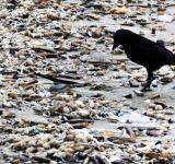 Free Photo - Black crow on beach