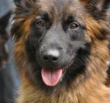 Free Photo - Beautiful german shepherd
