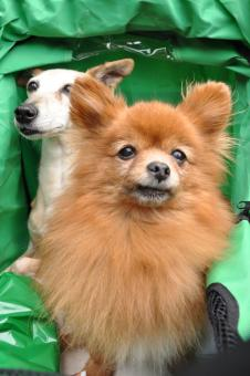 Two toy dogs in carriage - Free Stock Photo