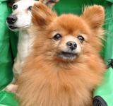 Free Photo - Two toy dogs in carriage