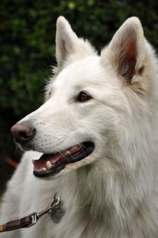 White shepherd dog - Free Stock Photo
