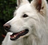 Free Photo - White shepherd dog