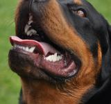 Free Photo - Rottweiler dog in park