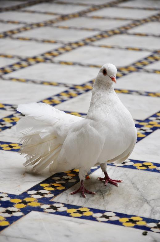 Free Stock Photo of White dove on tiled floor Created by Merelize