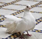 Free Photo - White dove on tiled floor