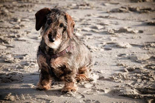 Wire-haired dachshund - Free Stock Photo