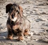 Free Photo - Wire-haired dachshund