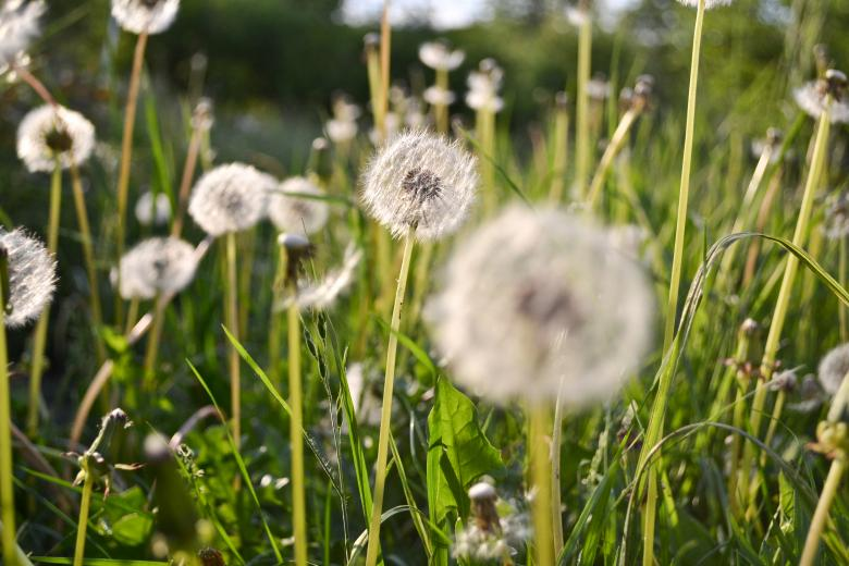 Free Stock Photo of Green field of dandelion Created by Octavian