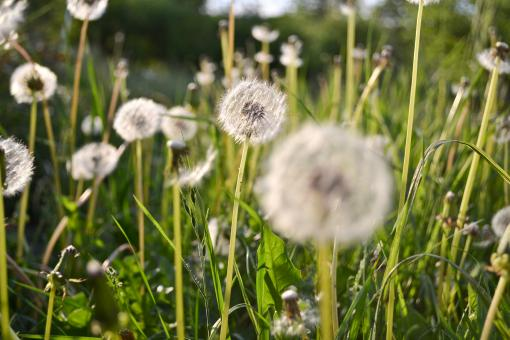 Green field of dandelion - Free Stock Photo