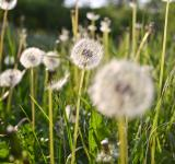 Free Photo - Green field of dandelion
