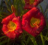 Free Photo - Red Lilies