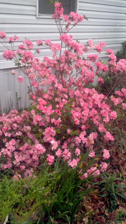 Free Stock Photo of Pink Flowering Bush Created by Katharine Sparrow