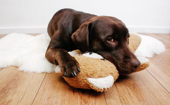 Labrador dog cuddling with teddy bear - Free Stock Photo