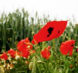 Free Photo - Poppy flowers