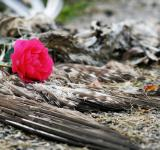 Free Photo - Dead bird and rose