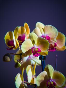 Orchids - Free Stock Photo