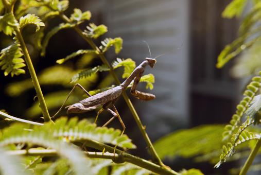 Mantis - Free Stock Photo