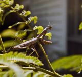 Free Photo - Mantis