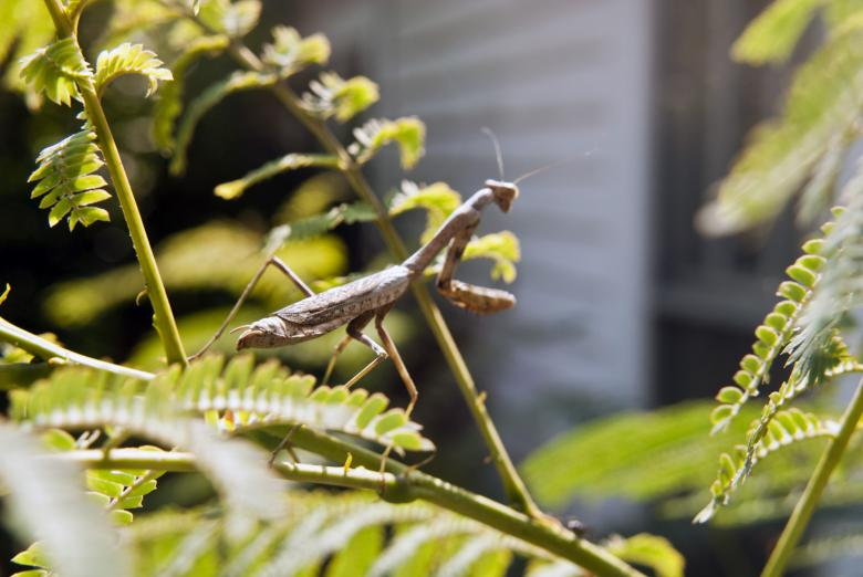 Praying Mantis Free Photo