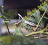 Free Photo - Praying Mantis Picture