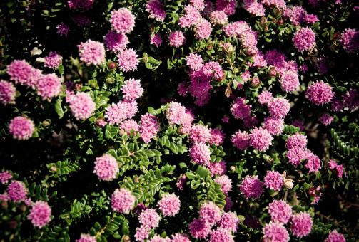 pink flowers - Free Stock Photo