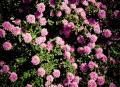 Free Photo - pink flowers